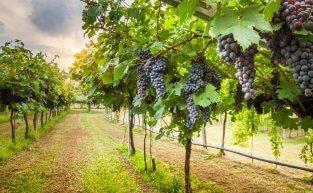 Entenda os fatores que interferem na produção dos vinhos